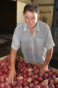 Apple grower during harvest